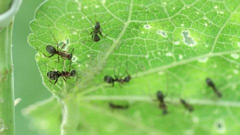 Black ants on green leaf
