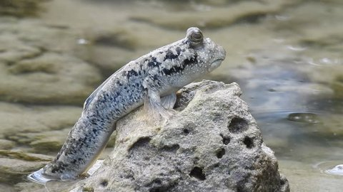 Close up -A Mudskipper (Oxudercinae) sitting on a rock and moving its mouth.