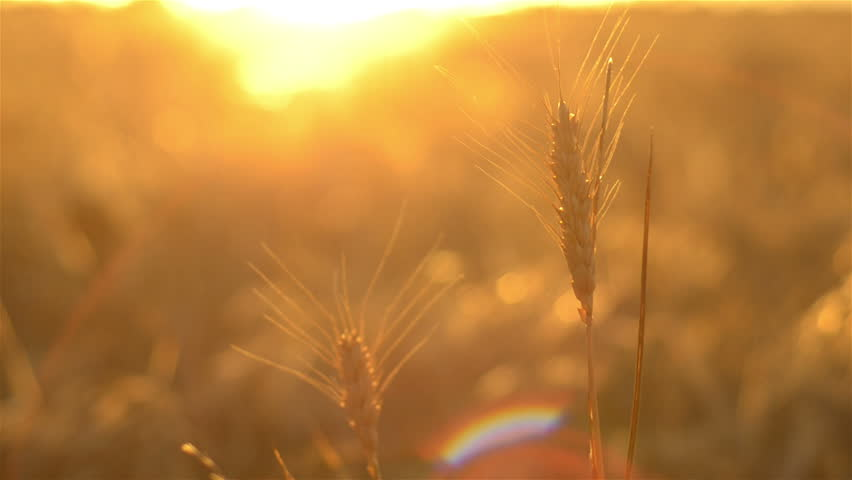 Head of wheat set against the sunset, the crop ready for harvest on an