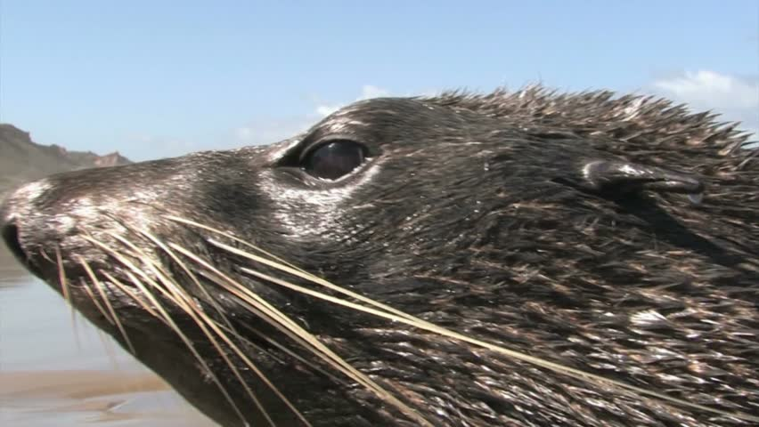 Far north, New Zealand. December 2012. Close up of seals head on 90 mile beach