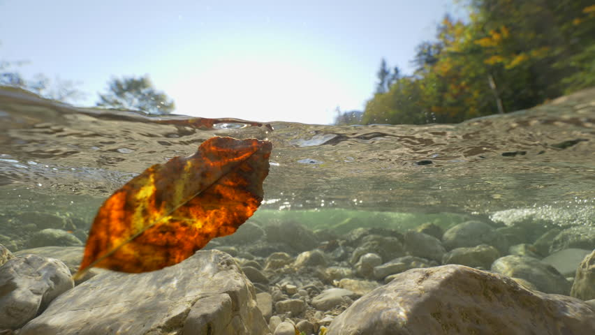 HALF UNDERWATER, LENS FLARE: Camera filming upstream a crystal clear mountain river carrying leaves in sunny autumn woods. Coniferous forest surrounding cold bubbling river water in a mountain valley