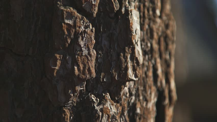 Texture Of Tree Bark Brown Large Trunk With Rough Maritime Pine A Solid