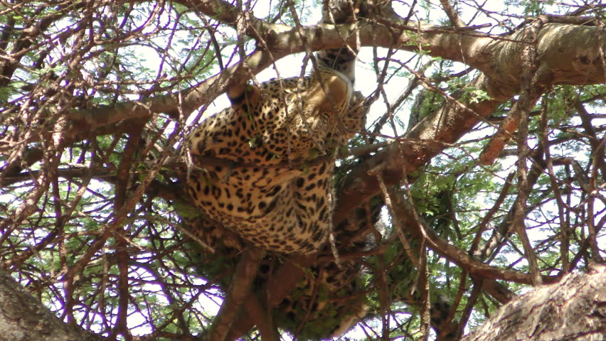 Leopard high up in a tree in the Serengeti National PArk, having been chased up there by two female lions