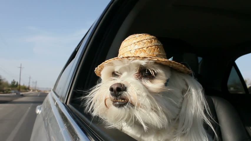 White dog wearing straw hat sticks head out car window, enjoys car ride.  | Shutterstock HD Video #3370934