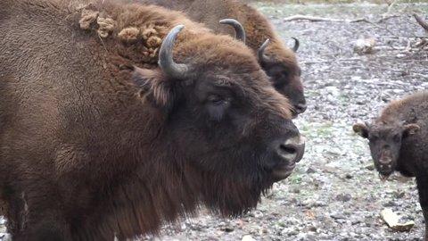 Buffalo chowing in winter scenerey