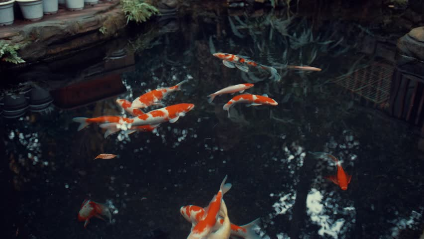 Koi Carp in the pond | Shutterstock HD Video #33729745