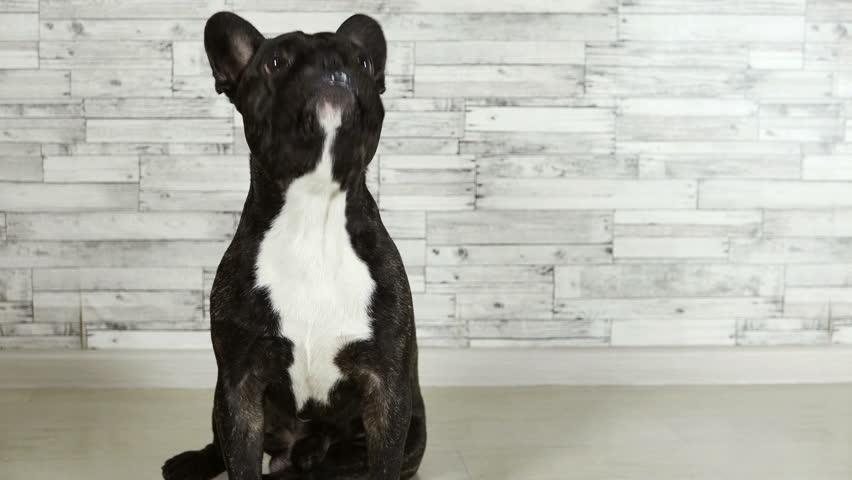 Animal dog French bulldog sitting licks its muzzle | Shutterstock HD Video #33787405