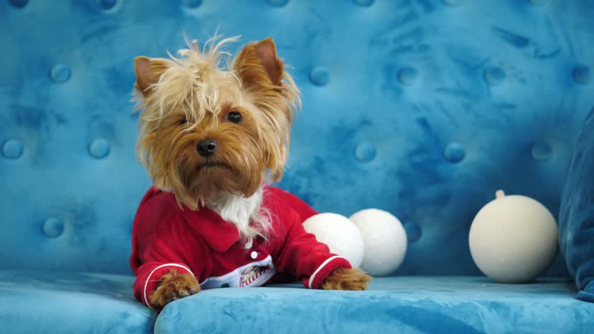 Cute Silver Dogs Yorkshire Terrier Stock Footage Video 100