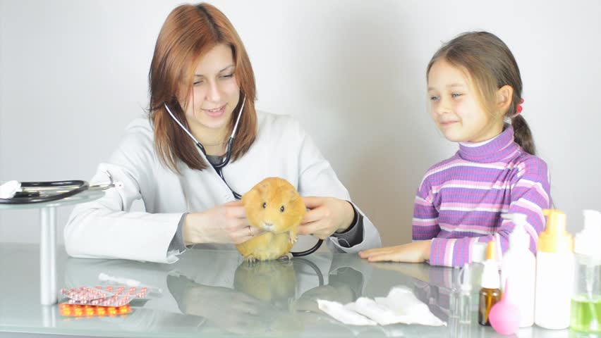 woman veterinarian examines a guinea pig