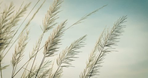 abstract softness white Feather Grass in the wind with retro sky  background and space in evening time , nature relaxing and freshness concept , 4k dci resolution