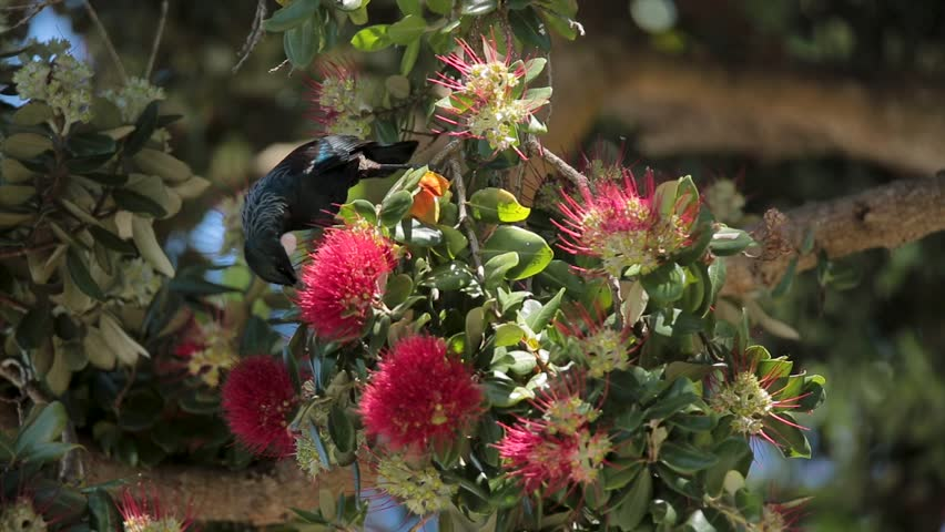 Tui Eating Pohutukawa Nectar