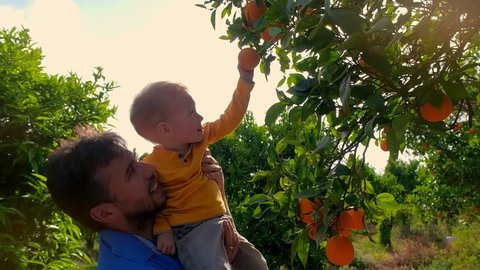 Young father holding son in arms and looking at branch orange tree. Father and son touching orange fruit on citrus farm. Dad and son in a fruit garden. Young farmer in orange orchard with young son