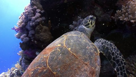 Giant reptile Hawksbill sea turtle Eretmochelys imbricata in Red sea. Relax underwater video about marine Cheloniidae.