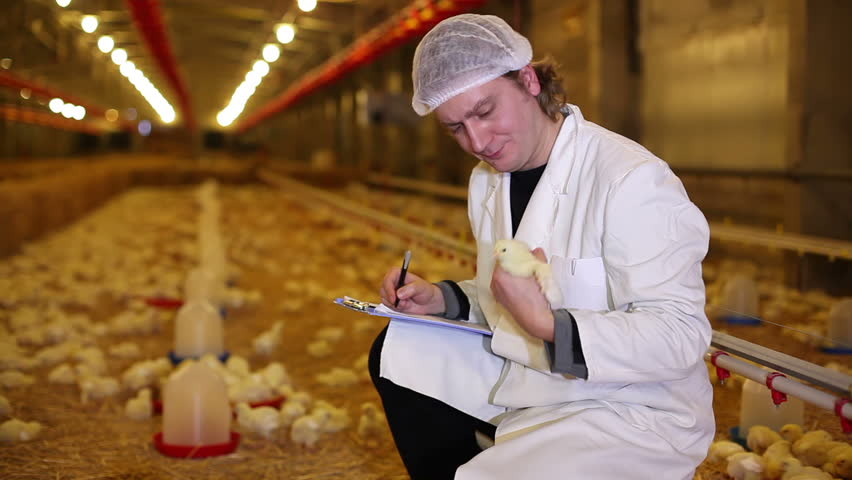 Farmer working on chicken farm, eggs and poultry production