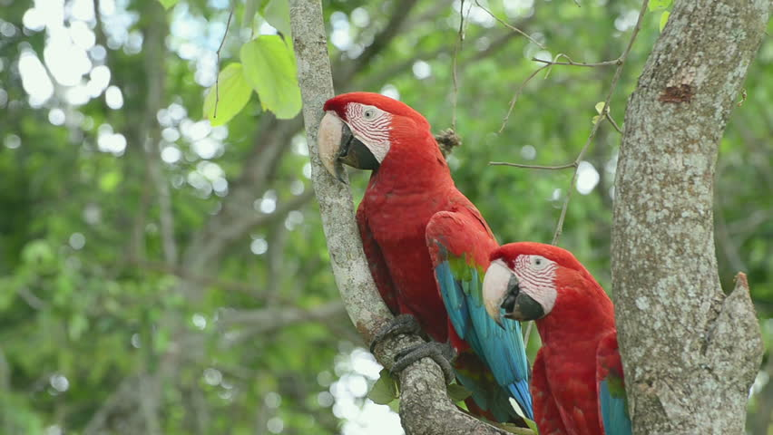 Two red macaw on a tree, Macaw climbing a tree. Bird from Brazil, also known as Arara Vermelha.
