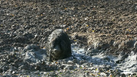Happy pig rolling in mud. Mangalitsa - The Woolly Sheep-Pig, healthy environment and organic food production