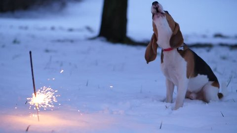 Beagle dog beware of burning sparkler stick, sit against on snow, turn head to firework and begin to bark and wail. Young doggy disappointed and scary of flashing fire, unknown item for pet