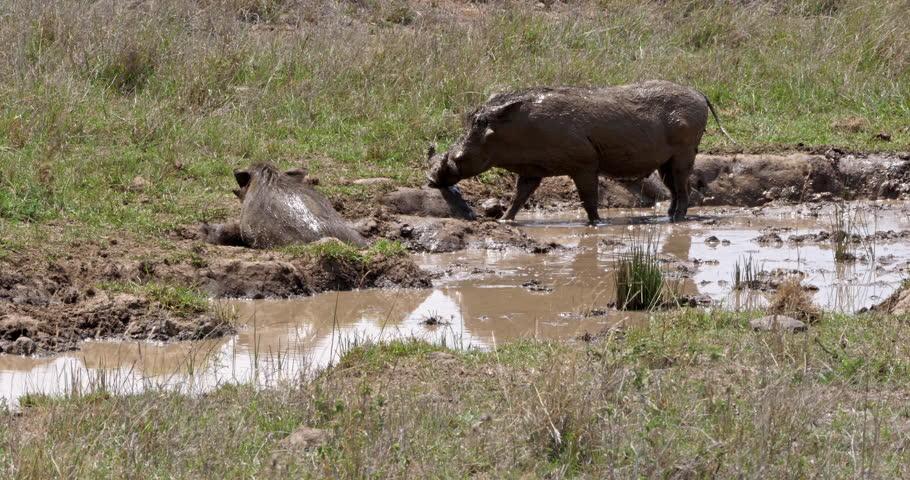 Warthog, phacochoerus aethiopicus, Pair having Mud Bath, Nairobi Park in Kenya, real Time 4K