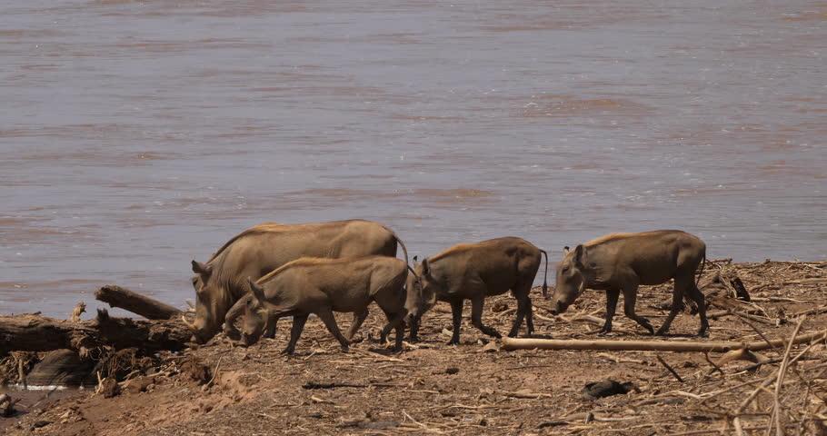 Warthog, phacochoerus aethiopicus, Adult and Youngs near the River, Samburu Park in Kenya, real Time 4K