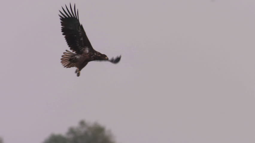 White-tailed eagle in Hungary #34095175