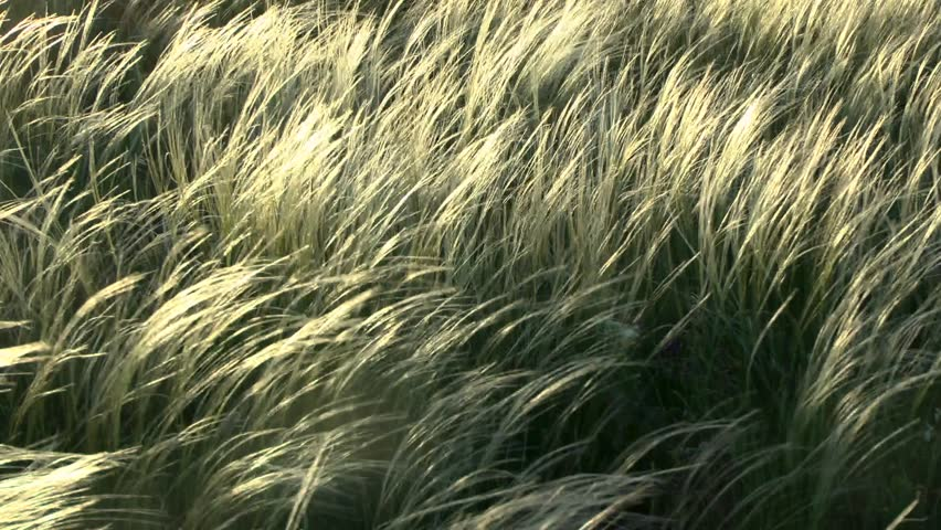 The feather-grass (Stipa sp.) steppe in sunset time, medium shot.