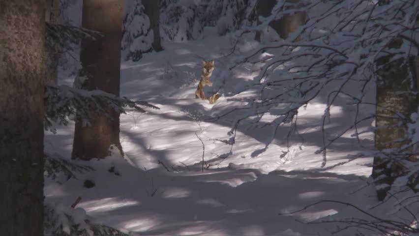 Wolf   Shutterstock HD Video #3427145