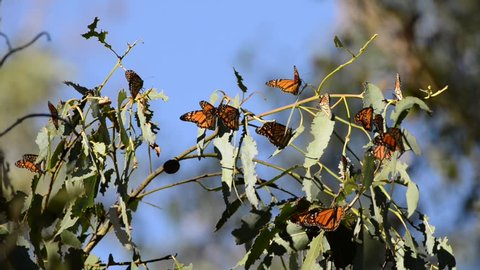 HD Video of many Monarch Butterflies in a Eucalyptus tree, wings fluttering. The monarch butterfly may be the most familiar North American butterfly and an iconic pollinator species.