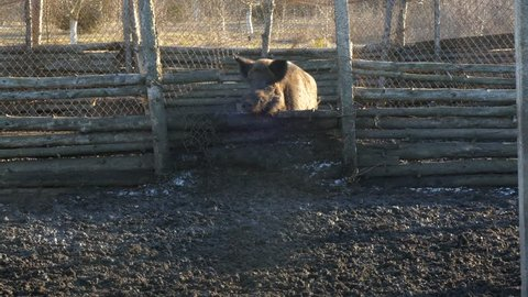 Wild boars on the farm in the pen. a wild boar jumps over the corral and goes to the camera. The camera follows him.