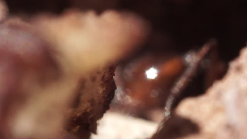 Ants Working together to Move Food Into Their Anthill Macro Slow Motion