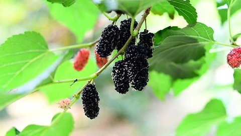 fresh mulberry from tree