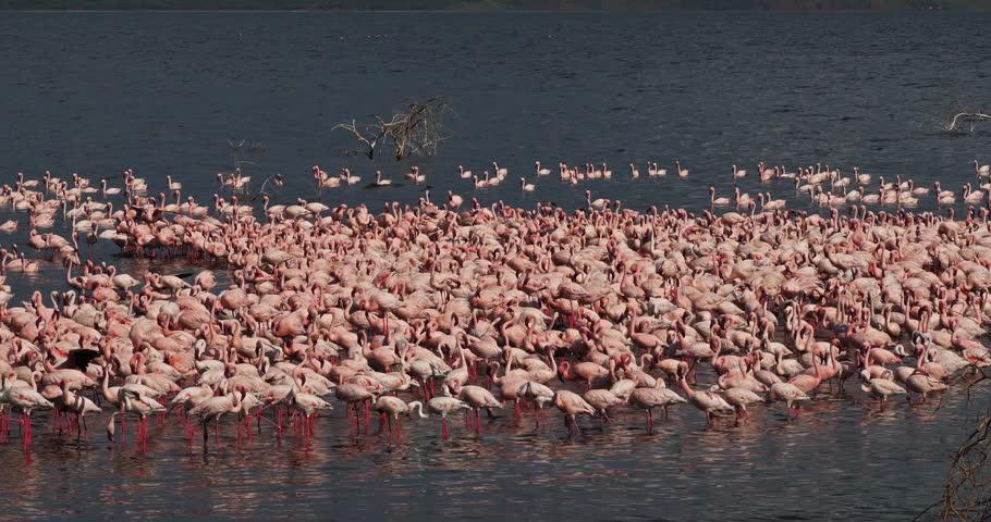 Lesser Flamingo, phoenicopterus minor, Colony at Bogoria Lake in Kenya, Real Time 4K