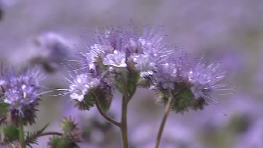 Field of Phacelia + honey bee, full screen. Phacelia attracts pollinators such as honey bees and other beneficial insects.