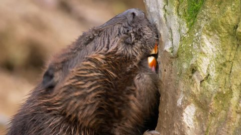 Beaver gnawing on a trunk