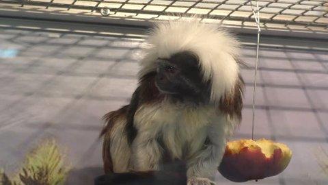 Oedipus Tamarin view igrunkovyh monkeys kind of tamarins
