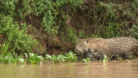 Jaguar (Panthera onca) stalking while wading through te river, in the Pantanal wetlands, Brazil