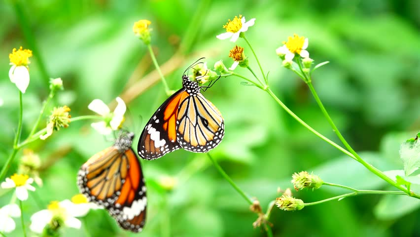4K Thai butterflies in pasture flowers  | Shutterstock HD Video #34599025