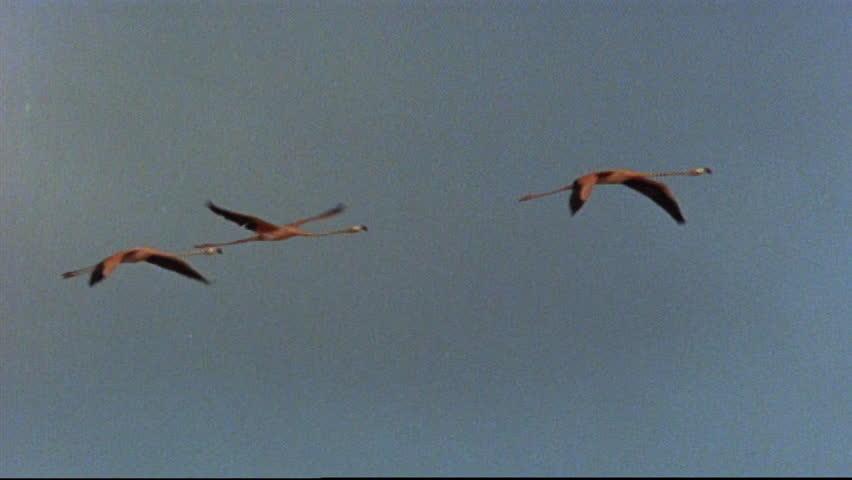 Header of American Flamingo