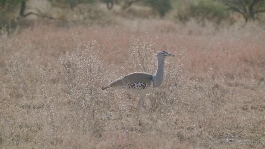 Kori bustard walking in short grass heaviest bird of flight