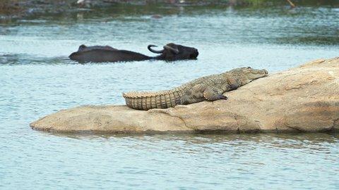 Mugger crocodile sunning himself on a rock. as a water buffalo bathes in a lake at Yala National Park in Sri Lanka. FullHD 1080p footage