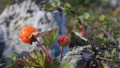cloudberry  Urals mountains