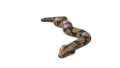 Realistic 3D Animation of  a  Crawling Boa Constrictor  With Alpha Channel.