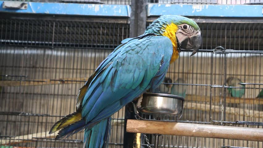 Blue and Yellow Macaw in a bird shop. | Shutterstock HD Video #34717975