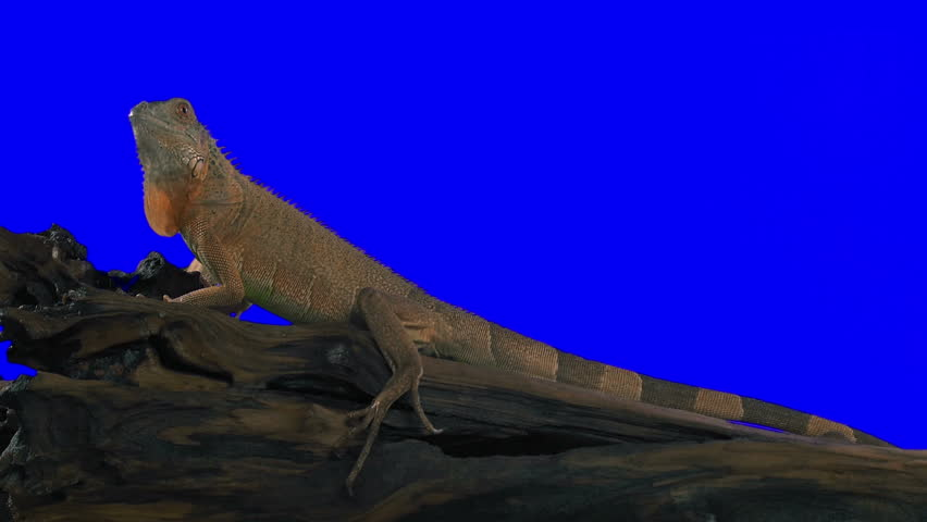 Iguana Creeps Along the Trunk. Green screen effect