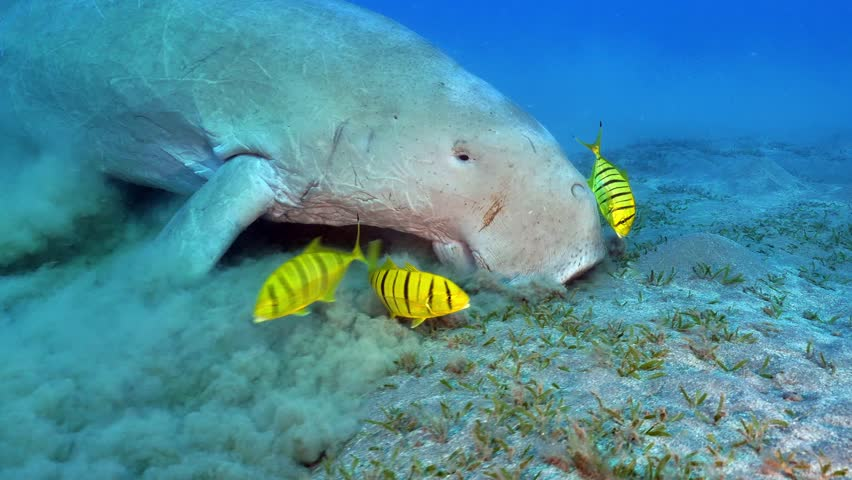 Dugong eating on the Sea grass in the Red Sea