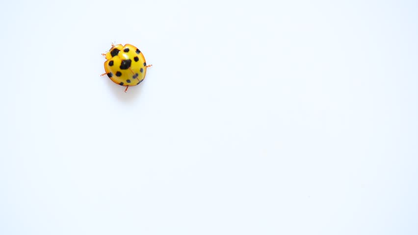 lady beetle moving across white surface