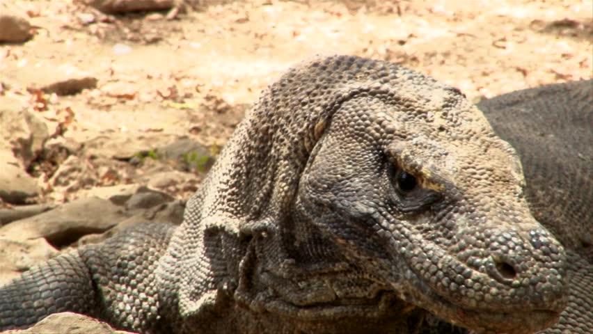 The Forked Tongue of a Venomous Komodo Dragon - Komodo Island, Indonesia