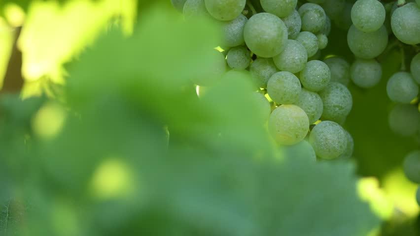Grapes of Glera variety used to make prosecco in the whole Veneto region, in particular in Conegliano and Valdobbiadene - Italy.