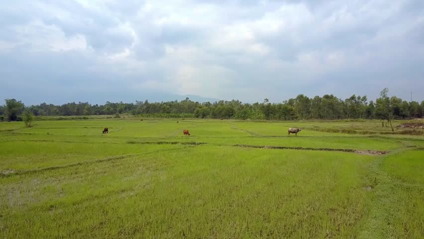 drone flies above pictorial large green rice fields with grazing buffaloes against trees and cloudy sky