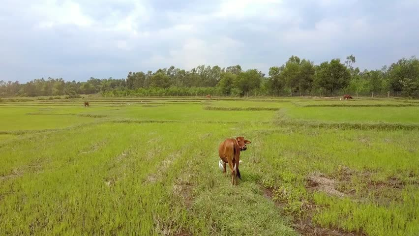 camera shows backside view young buffalo scaring large white birds in high green grass against cloudy sky