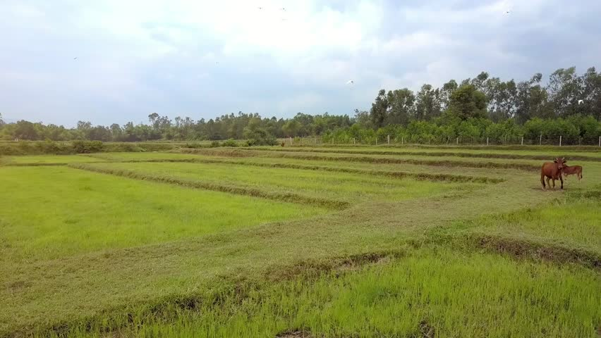 drone removes from buffaloes grazing on green rice fields some large white birds fly above against plants and cloudy sky